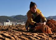 貴州威寧:曬中藥 迎豐年