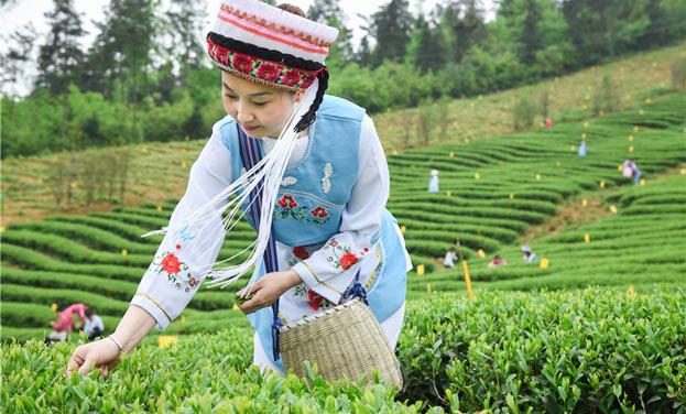 谷雨採茶正當時