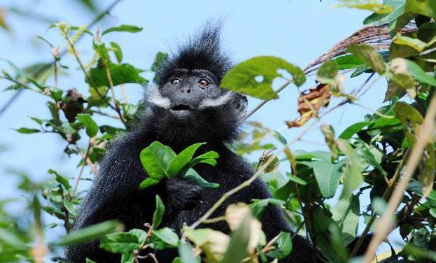 貴州麻陽河黑葉猴家族喜添丁 目前至少72群554只