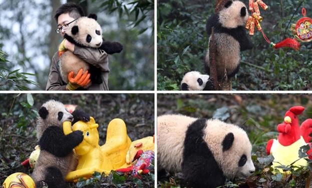 大熊貓寶寶迎新年