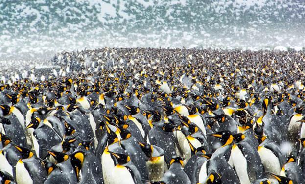 25萬只帝企鵝齊聚南極海灘 場面震撼