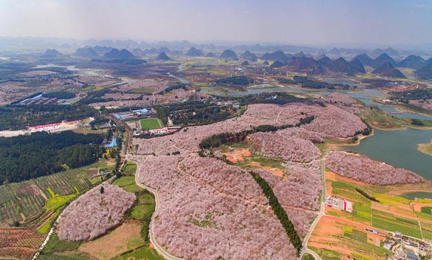 贵州平坝万亩樱花园进入盛花期