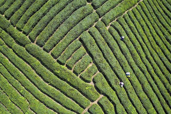 貴州茶産業拓寬山區農民增收路