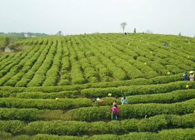 貴州水城:春茶採摘正當時