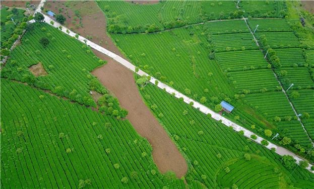貴州開陽:生態茶富民增收