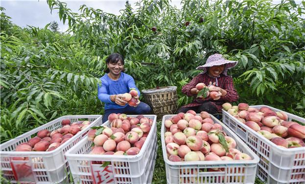 貴州松桃:桃子熟 採摘忙