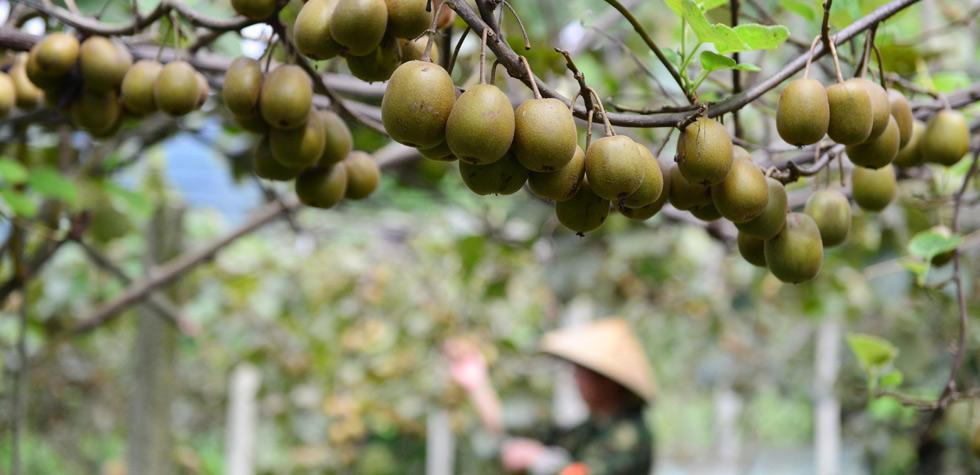 貴州劍河:紅陽獼猴桃秋日喜豐收