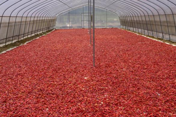 蔬菜大棚烘辣椒 節能增收又環保