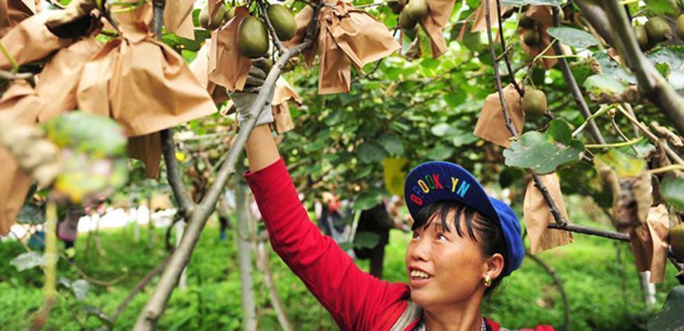 貴州水城:獼猴桃産業助農脫貧增收