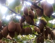 貴州修文縣:小小獼猴桃 致富大産業