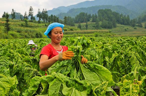 煙農採摘煙葉