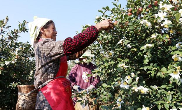 貴州黎平:油茶金果喜豐收