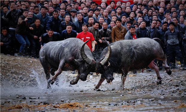 2017貴州雷山苗年全國牛王爭霸賽12月舉行