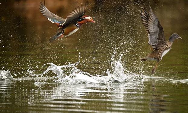 野鴛鴦戀上黃泥塘