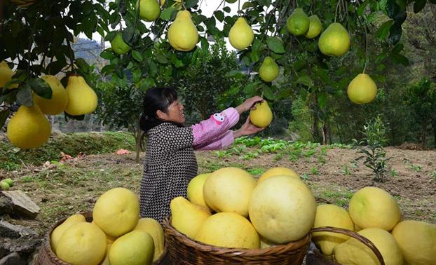 貴州岑鞏思州柚豐收