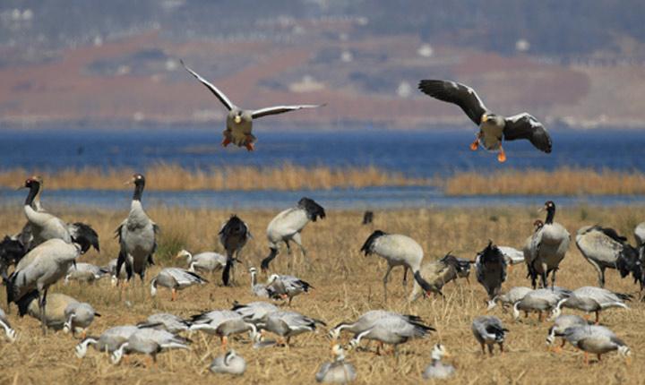 贵州草海污染得到遏制 黑颈鹤数量增加8.14%