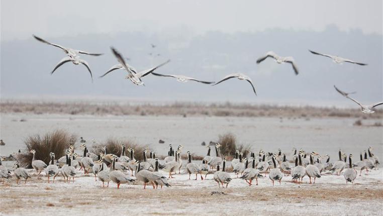 草海:湖面結冰緊急投食 確保候鳥安全過冬