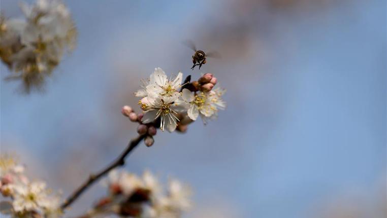貴州丹寨:梨花開 春意濃