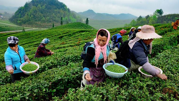貴州普安:萬畝春茶開採 各地茶商搶購