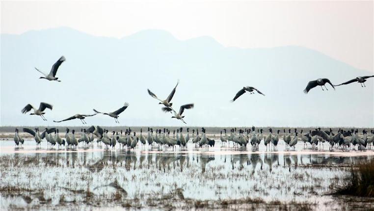 貴州草海:越冬候鳥陸續北遷