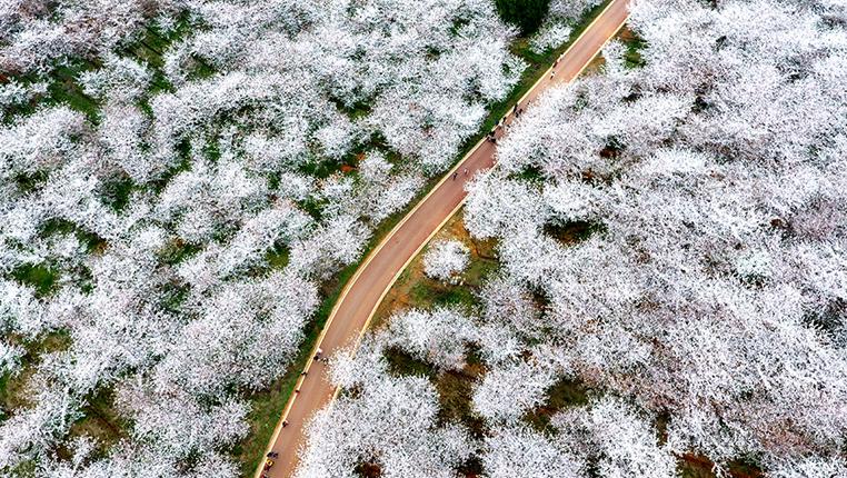 唯美航拍:貴州貴安新區萬畝櫻花綻放景色迷人