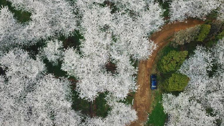 櫻花滿天賞春光
