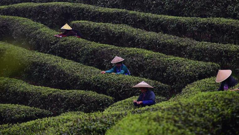 貴州進入春茶採摘季
