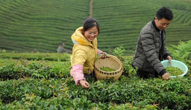 黔中春茶開採