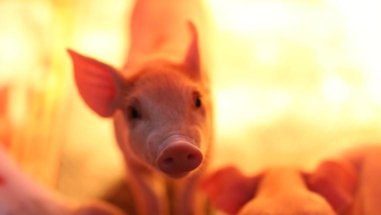 貴州玉屏:發展現代生豬養殖新模式