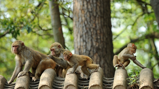 貴陽:春意萌動黔靈猴