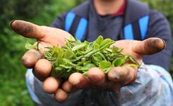 貴州石阡:苔茶源地忙採茶