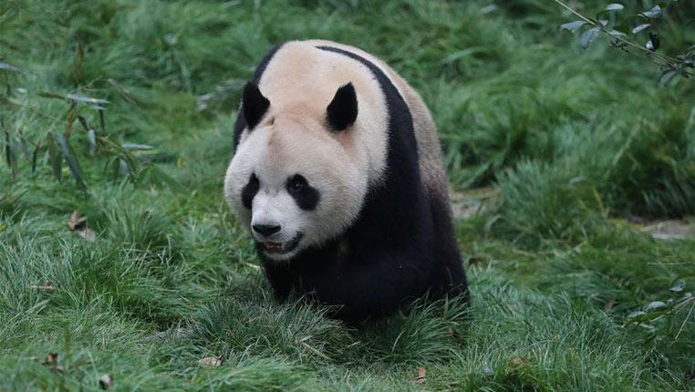 """贵阳:两只""""海归""""大熊猫正式和公众见面"""