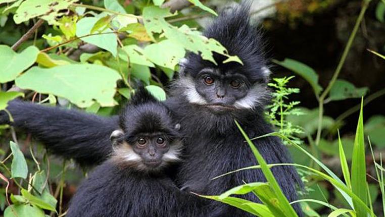 """貴州:麻陽河國家級自然保護區黑葉猴再""""添丁"""""""