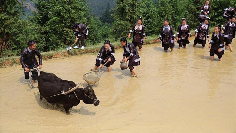 貴州榕江:苗寨迎來開犁節