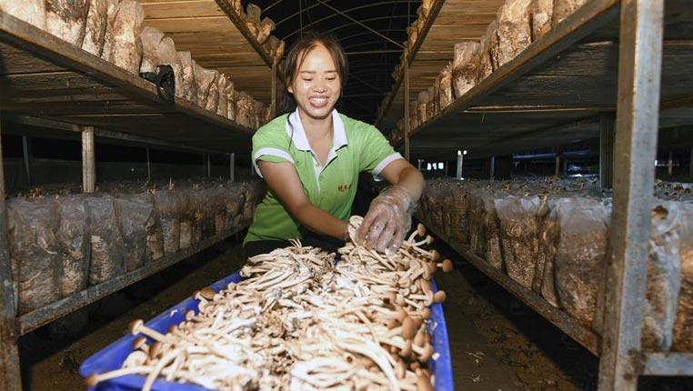 貴州松桃:變廢為寶發展食用菌産業