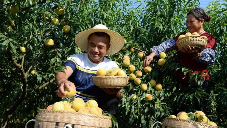 發展黃桃種植 帶領鄉親致富