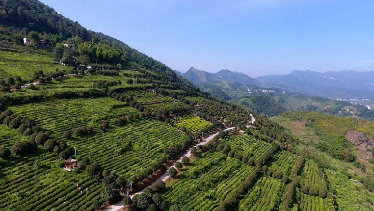 航拍贵州正安白茶基地:一片树叶促脱贫