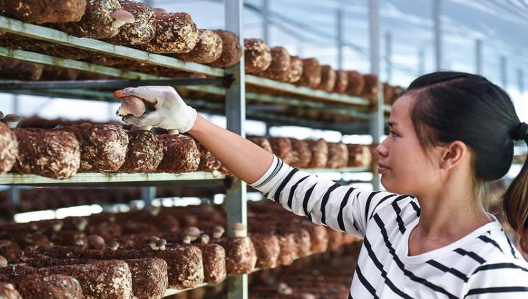 贵州安龙:食用菌产业助农脱贫增收
