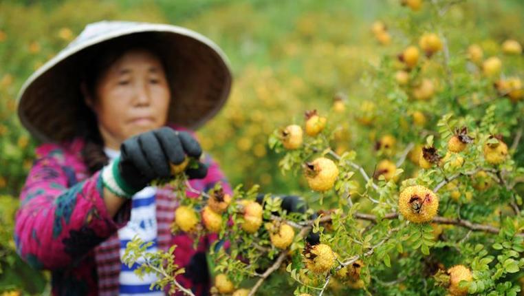 貴州龍裏刺梨迎來收獲季