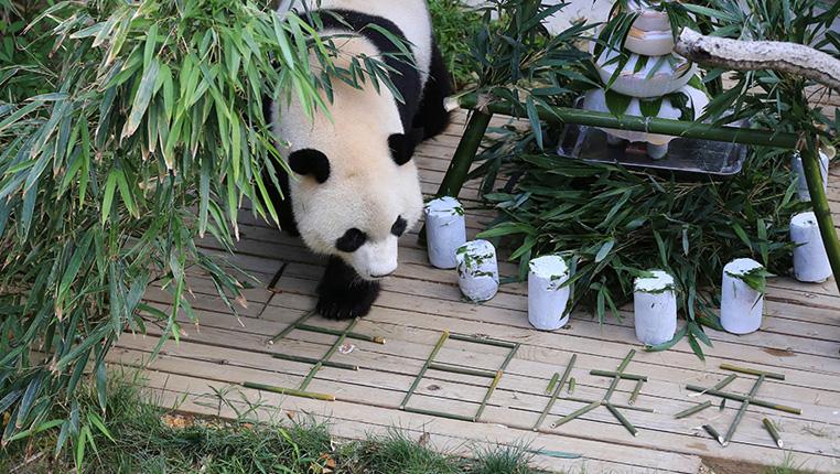 貴陽熊貓過生日 享用特制冰蛋糕
