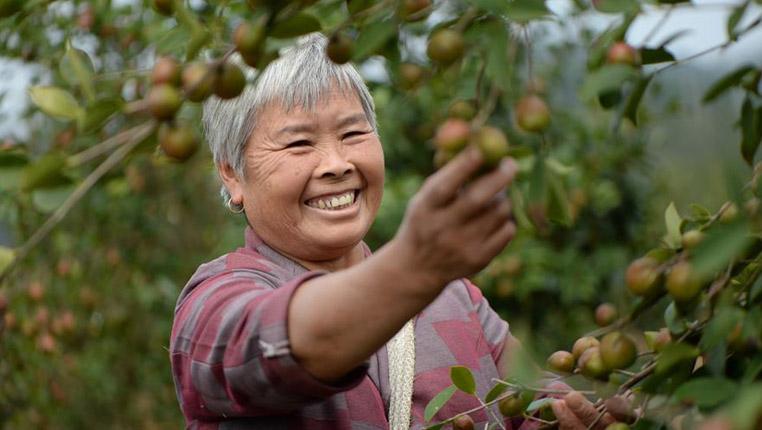 貴州玉屏:油茶之鄉採摘忙