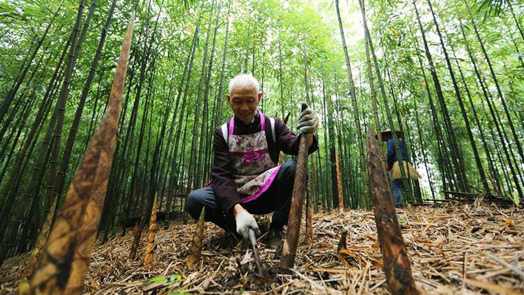 貴州赤水:5萬余畝大竹筍迎來收獲季