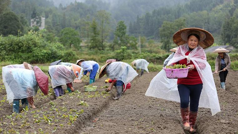 貴州劍河:鉤藤育苗忙