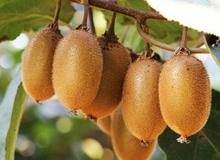 修文獼猴桃水果鏈 獲吉尼斯世界紀錄