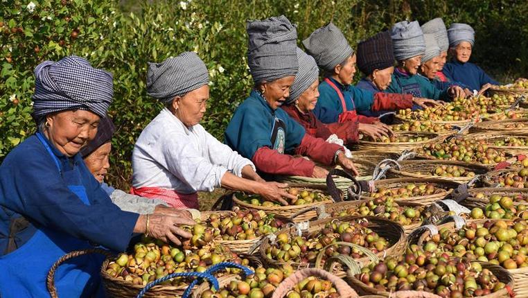 貴州松桃:金秋油茶喜豐收