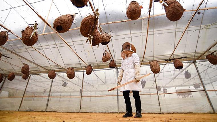 貴州望謨:胡蜂養殖助力脫貧增收