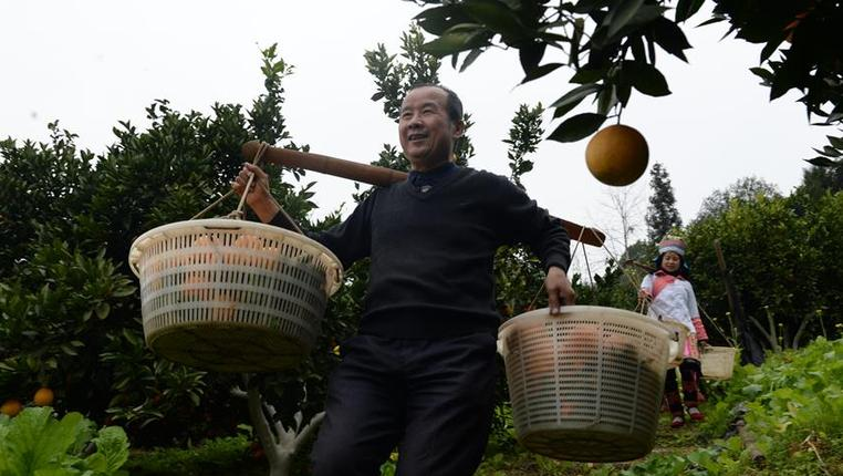 貴州榕江:發展臍橙産業助脫貧