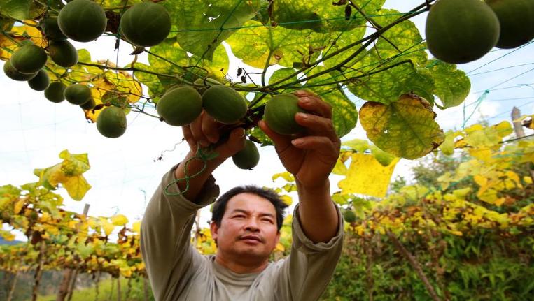 貴州榕江:羅漢果助農增收