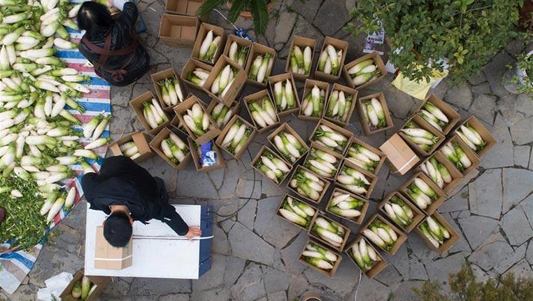 貴州畢節:蘿卜豐收忙