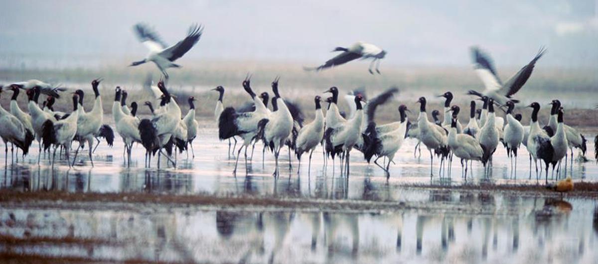 10萬余只候鳥在貴州草海度過冬天陸續北遷